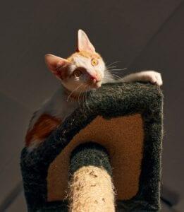 cat playing on cat post platform