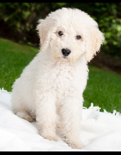 A GoldenDoodle puppy