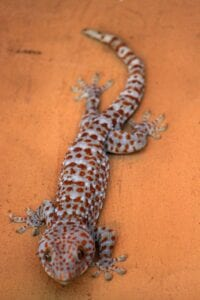 tokay lizard
